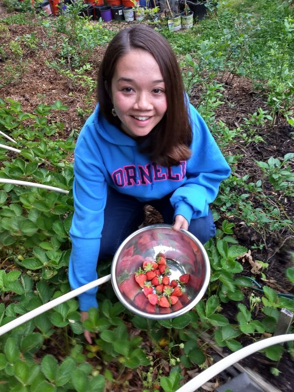 Picking Delicious Strawberries